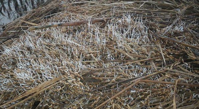 बेमौसमी वर्षाको पीडा : काटेर राखेको धान खेतमै उम्रियो